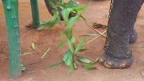 SIGIRIYA, SRI LANKA - FEBRUAR 2014: Schließen Sie herauf Ansicht eines Elefanten, der Niederlassung bricht Diese alten Elefanten  stock footage