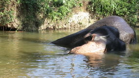 SIGIRIYA, SRI LANKA - FEBRUARY 2014: View of an elephant bathing in a stream. It�s common practice to refresh elephants after a. Day�s work in the fields stock video
