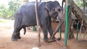 SIGIRIYA, SRI LANKA - FEBRUARY 2014: View of an elephant eating banana trunk in Sigiriya. These old elephants are retired from log stock footage