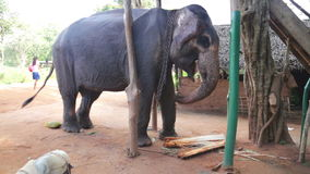 SIGIRIYA, SRI LANKA - FEBRUARY 2014: View of an elephant eating banana trunk in Sigiriya. These old elephants are retired from log stock video