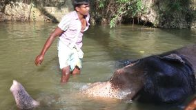 SIGIRIYA, SRI LANKA - FEBRUARY 2014: View of an elephant with his mahout, laying in a stream. It�s common practice to refresh el. Ephants after a day�s work stock video footage
