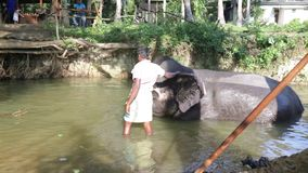 SIGIRIYA, SRI LANKA - FEBRUARY 2014: View of an elephant with his mahout, laying in a stream. It�s common practice to refresh el. Ephants after a day�s work stock video