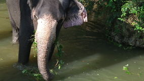 SIGIRIYA, SRI LANKA - FEBRUARY 2014: View of an elephant standing in a stream and eating plant. It�s common practice to refresh. Elephants after a day�s stock video