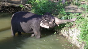 SIGIRIYA, SRI LANKA - FEBRUARY 2014: View of an elephant standing in a stream and eating plants. It�s common practice to refresh. Elephants after a day�s stock video footage