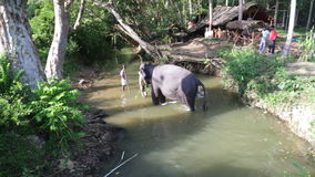 SIGIRIYA, SRI LANKA - FEBRUARY 2014: View of an elephant standing in a stream and eating plants. It�s common practice to refresh. Elephants after a day�s stock video