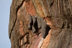 Sigiriya wasp nest, Sri Lanka Stock Photography