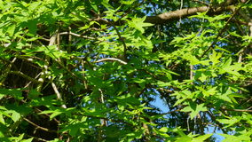 Sigla tree, alternative medicine, anxiety, bronchitis, cuts, ringworm, scabies, wounds, stock video footage