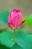 Sigle flower Royalty Free Stock Photo