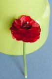 Sigle red buttercup. Red persian buttercup flower on green background Stock Photo
