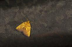 Free Siglophora Ferreilutea In Family Noctuidae Moth Seen At Meghalaya,India Stock Image - 158913821
