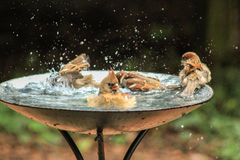 Free Sign Said Adult Swim Sparrows & Cardinal Royalty Free Stock Images - 63371359