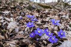 Sign of spring. A sign of spring when kidneywort, anemone hepatica,  blossom on April. Photo taken on April, 2016 Stock Photo