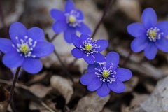 Sign of spring. A sign of spring when kidneywort, anemone hepatica,  blossom on April. Photo taken on April, 2016 Stock Photos