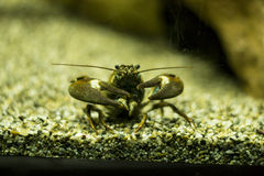 Signaalrivierkreeften (Pacifastacus-leniusculus) Stock Fotografie