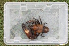 Signal crayfish, Pacifastacus leniusculus. In box, Midlands, October 2009 Royalty Free Stock Photo