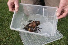 Signal crayfish, Pacifastacus leniusculus. In box, Midlands, October 2009 Stock Photo