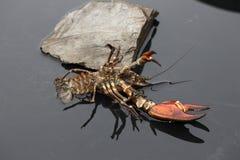 Signal crayfish, Pacifastacus leniusculus Stock Images