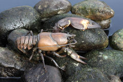 Signal crayfish, Pacifastacus leniusculus. By water Royalty Free Stock Photo