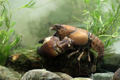 Signal crayfish, Pacifastacus leniusculus. By water Royalty Free Stock Photos
