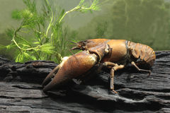 Signal crayfish, Pacifastacus leniusculus. By water Stock Photos
