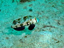Signal Goby Royalty Free Stock Images