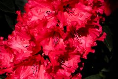Red rhododendron blossoms, vibrant, deep color, flowering in spring Royalty Free Stock Image