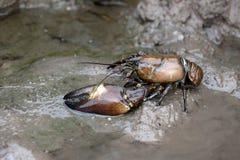 Signalkräfta, Pacifastacus leniusculus Royaltyfri Fotografi