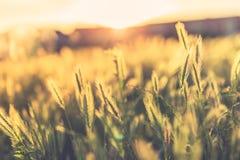 Signalljus för lins för solnedgång för höst för naturvetefält Kopieringsutrymmeområde för en text Solnedgång för havrelantgårdsom royaltyfri foto