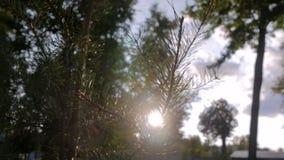 Signalljus för lins för för granfilialgran och sol - naturbakgrund stock video