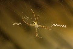 Signature spider, Argiope sp, Araneidae, Manu,Tripura stock photos