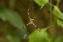 Signature Spider, Argiope sp, Araneidae, Manu,Tripura stock photography