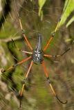 Signature spider, Argiope sp, Araneidae, Tripura stock photos