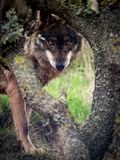 Signatus de lupus de Wolf Canis d'ibérien regardant fixement dans la forêt Image stock