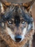 Signatus ibérico del lupus de Canis del retrato del lobo Fotos de archivo