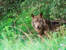 Signatus ibérien de lupus de Canis de loup dans les buissons Images stock
