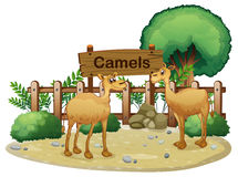 A signboard at the back of the two camels Stock Photo