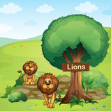 A signboard posted in a tree and the two lions Stock Image
