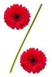 Signe de pour cent des fleurs de marguerite de gerbera Photographie stock