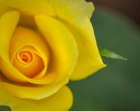 Signe de roses jaunes de l'amitié Images libres de droits
