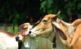 Signes d'expositions de vache et de veau de l'amour Photographie stock