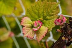 Signes des vignes de ressort fleurissant et de la formation de bourgeons photographie stock libre de droits