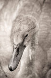 Signet. Swan signet with water droplets on its feathers Royalty Free Stock Photography