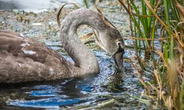 Young Swan feeding in reeds of lake stock photo