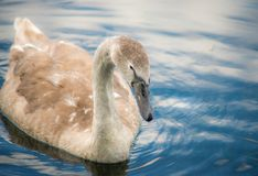 Signet Swan on a lake royalty free stock photo