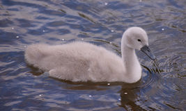Signet Swan. This is a young mute swan, known as a signet. This bird is bred by two adults that remain partners for life. The swan starts off a little grey ball Stock Photo