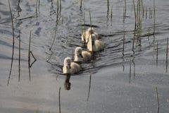 4 signets που κολυμπούν σε μια γραμμή στοκ εικόνες