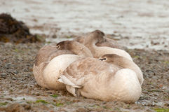 Signets Stock Images
