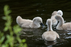 Signets feeding Stock Photos