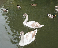 Signets in immature plumage Royalty Free Stock Image