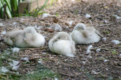 Signets nesting. A sringtime stroll with eyes open can reveal true beauty Stock Image
